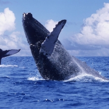 Legendary Whales of Samana
