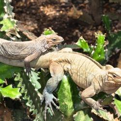 Iguana Ranch