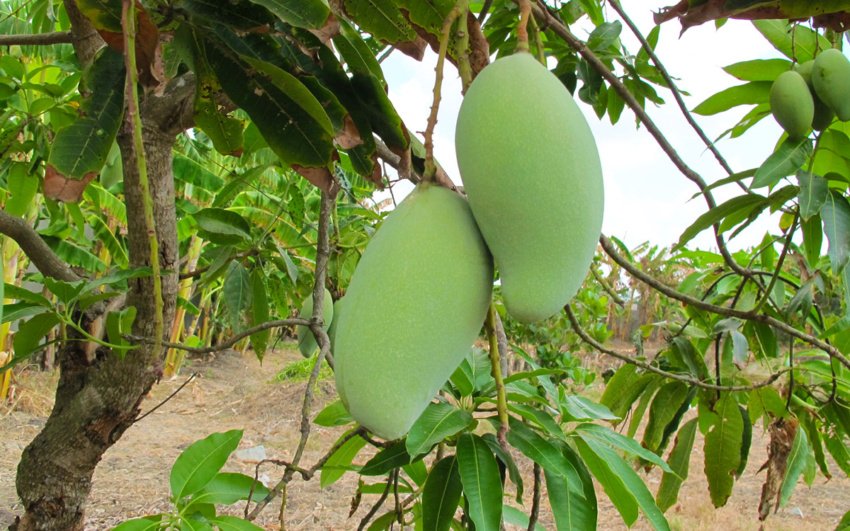 Dominican mango tree