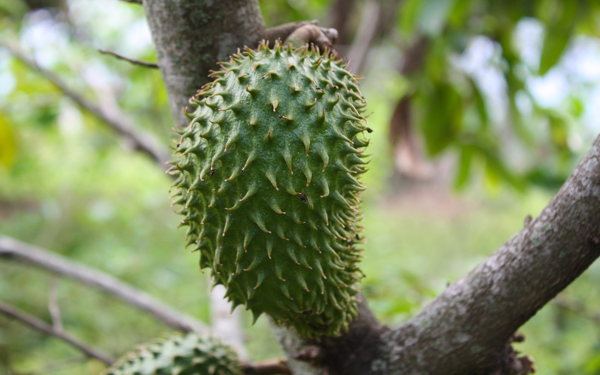 Guanábana, or Annona, or Soursop